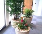 tropical plants in mango planters